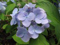 blue-hydrangea-1215190-m