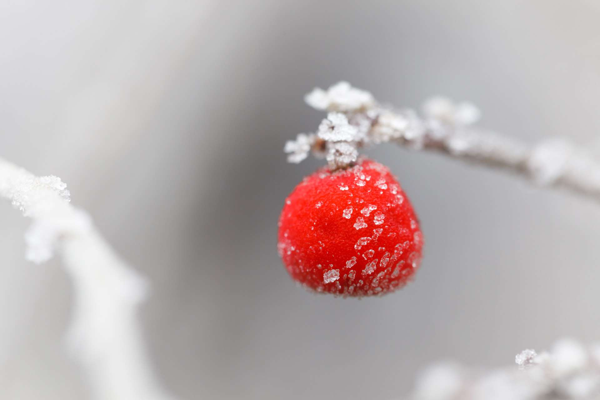 frosty-red-berry1