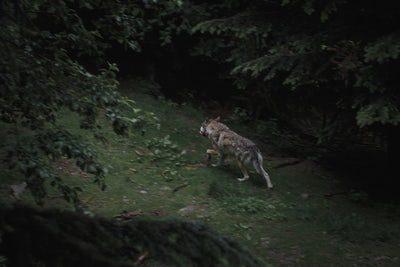 J ai pu l observer pendant une bonne minute trente. J étais en bivouac dans  le bois Corel, à Guerledan. Je suis tombé nez à nez avec lui en sortant de  ma ... 315974023586